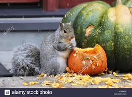 fat squirrel stock photos u0026 fat squirrel stock images alamy