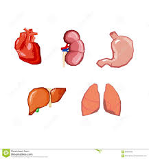 Pictures Of The Human Body Internal Organs Human Body Internal Parts Organs Set Isolated Stock Vector