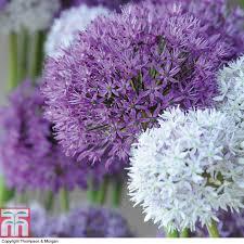 allium flowers allium big impact mixed thompson