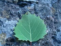 Define Tree 14 Best Tree References Images On Pinterest Aspen Trees Nature