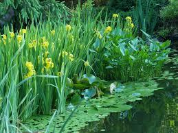 the koi pond in may ramblin u0027 through dave u0027s garden