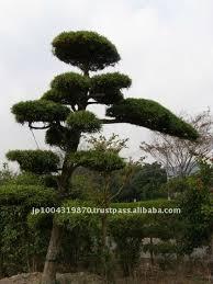 big bonsai podocarpus japanese tree buy bonsai large bonsai