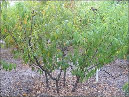 ideas for small space trees of antiquity heirloom fruit trees