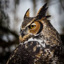 great horned owl horned owl majestic animals and bird