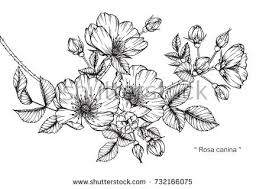 wild rose flowers drawing sketch lineart stock vector 645012832