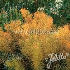 plante vivace soleil plantes vivaces amsonia hubrichtii amsonie pépinière lepage