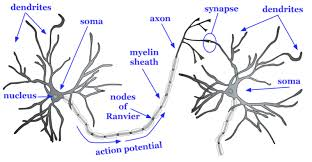 the brain and nervous system noba