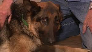belgian sheepdog diet dog spends almost 5 weeks on freeway median cnn video