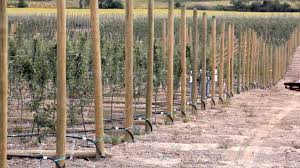 building strong apple orchard trellises ériger des treillis