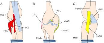 si e social lcl clinical biomechanics of instability related to total knee