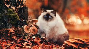 1920x1080 fall wallpaper download wallpaper 1920x1080 cat fluffy foliage autumn full hd