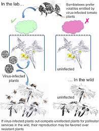 Symptoms Of Viral Diseases In Plants - virus infection of plants alters pollinator preference a payback