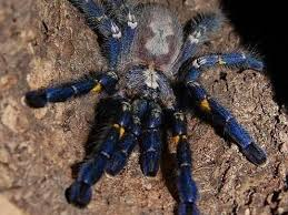 best 25 tarantulas for sale ideas on pet tarantula