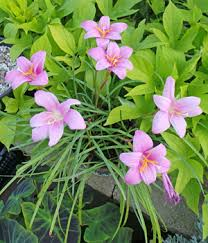 Rain Lily Pink Rain Lily Zephyranthes Grandiflora U2013 Master Gardener Program
