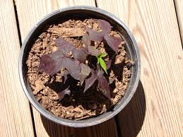 indentify and care of sweet potato vine houseplant 411 how to