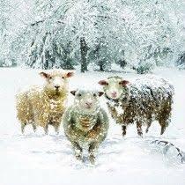 cancer research uk sheep hottie cruk christmas shop animals