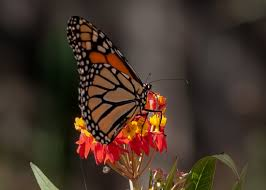 native plants journal with monarchs and milkweeds my journey part one my native plants