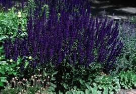 Shrub With Fragrant Purple Flowers - shrubs and perennials