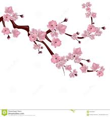 japanese cherry tree a branch of pink cherry blossom on white