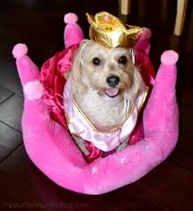 Halloween Costumes Yorkies Queen Yourdesignerdog