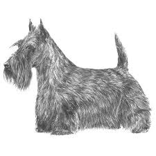scottish yerrier haircuts scottish terrier scottie dog breed information american kennel