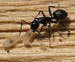 ant mandibles naturally curious with mary holland