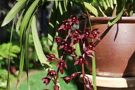 cymbidium orchids how to grow cymbidium orchids outside in san diego install it direct