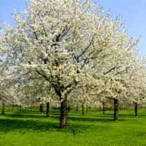 diseases of the ornamental pear tree