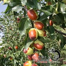 2017 wholesale grafted fruit tree seedlings planted in northern