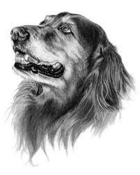 abby the golden retriever dog art sketch sporting breed dogs i