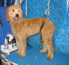 how to cut a goldendoodles hair grooming the goldendoodle bbird s groomblog