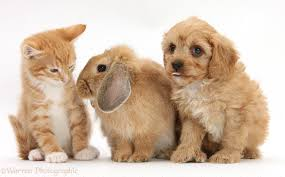 pets grey kitten goldendoodle puppy and fluffy bunny photo wp43460