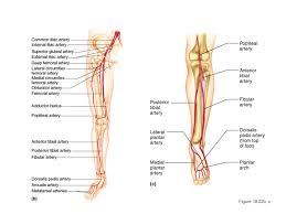 Foot Vascular Anatomy Systemic Circulation Ppt Video Online Download