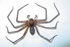 florida nature heteropoda venatoria huntsman spider