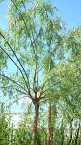 weeping willow trees salix babylonica specimen trees uk