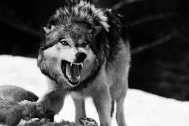 desktop black and white wolf photos