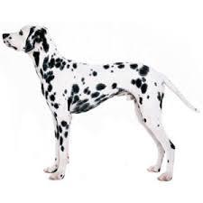 american eskimo dog vs pomeranian comparison of dalmatian dog vs american eskimo dog findvs com