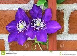 clematis vine on trellis stock image image of bloom 43141443
