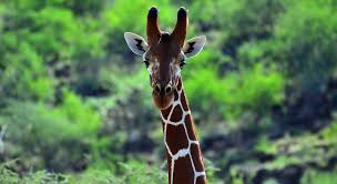 giraffes the biology and behaviours of these disappearing land giants
