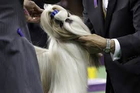 thanksgiving day dog show patty hearst u0027s dog wins its group at westminster dog show