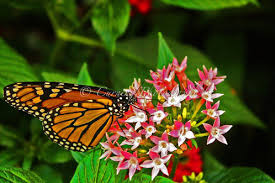 monarch butterfly nature photography united states curning