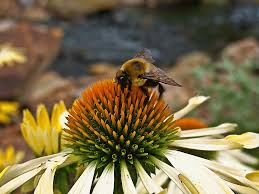 bumble bee yellow cone flower flowers free nature pictures by