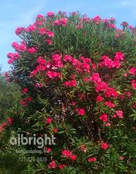 Flowering Privacy Shrubs - flowering plants yard landscaping and shrubs on pinterest pink