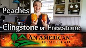 peaches clingstone or freestone modern homesteading off grid