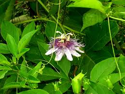 native plants passionflower vine grows the home site passion flower a great vine and groundcover