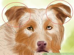 australian shepherd kinds how to identify an australian shepherd 12 steps with pictures