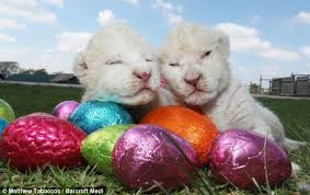 camouflage easter eggs are these the cutest lion cubs south newborns fight