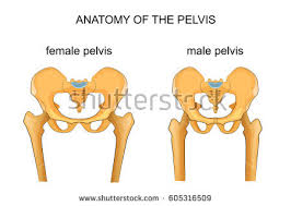 Male And Female Anatomy Female Pelvis Stock Images Royalty Free Images U0026 Vectors