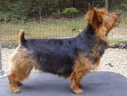 australian shepherd yorkie australian terrier dog breed information puppies u0026 pictures