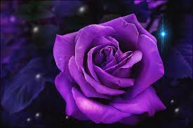 purple roses a purple for prince photograph by daniel arrhakis